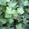 銷售紫藤、爬山虎.爬墻梅.金銀花.玫瑰苗