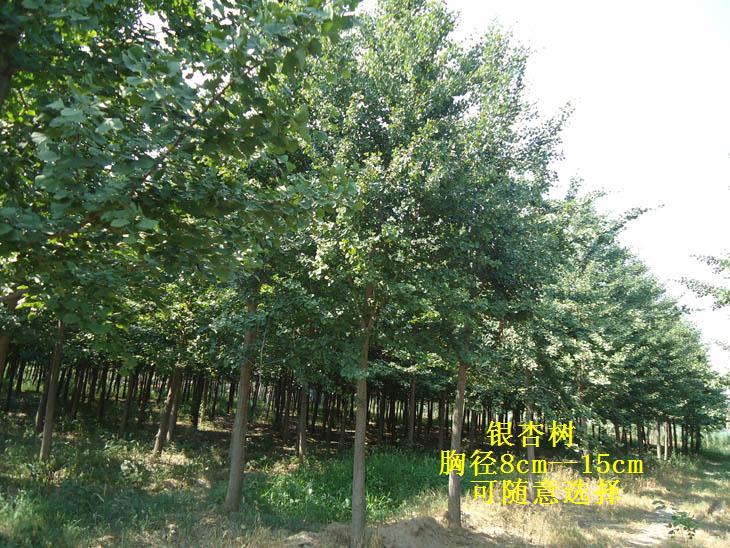 大银杏|绿化小苗|绿化苗木|供应信息|597苗木网