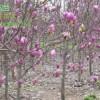 紫玉兰、白玉兰、月季、花石榴.红叶碧桃