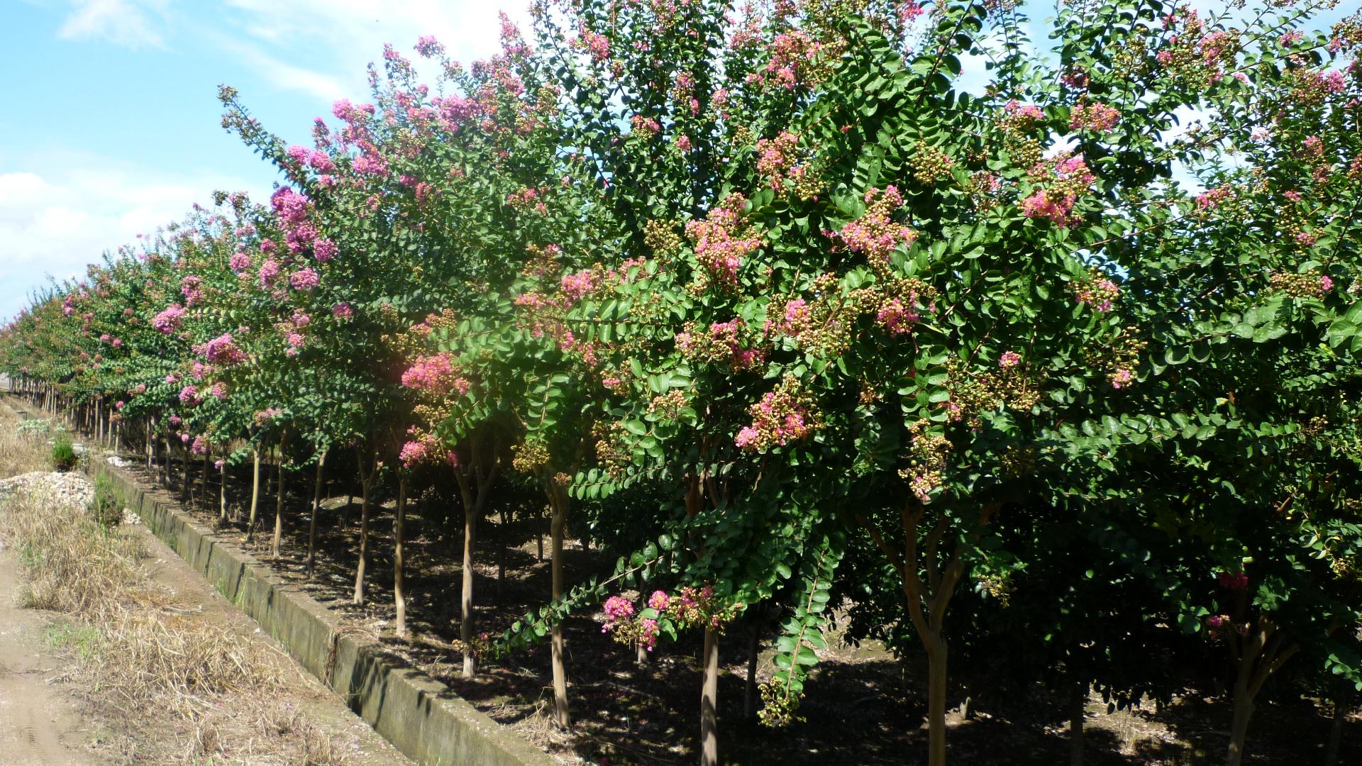 供應紫薇、樂昌含笑、 雞爪槭、櫻花、 杜英等喬木