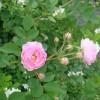 销售?#23376;?#20848;、月季、花石榴.红叶碧桃