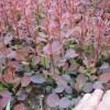 供應紅葉小檗、金葉女貞、灑金柏、百日紅等苗木