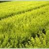 苗木價格,金葉女貞價格,紅葉小檗價格,苗木供應