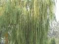 供应各种柳树——金丝柳