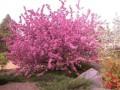 海棠樹 (1圖)