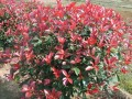 紅葉石楠[30-300]冠 (10圖)