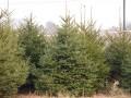 紅皮云杉1-5米 (1圖)