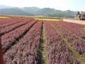 紫葉小波 小苗 (1圖)