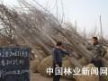 日成交额上千万的郯城银杏苗木市场