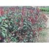 湖南汤先生自家低价供应红叶石楠球;红叶石楠树系列红叶石楠图片