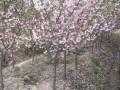 垂丝海棠 (1图)