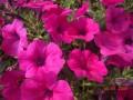 时令花卉 (7图)