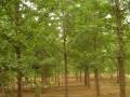 銀杏樹 (2圖)