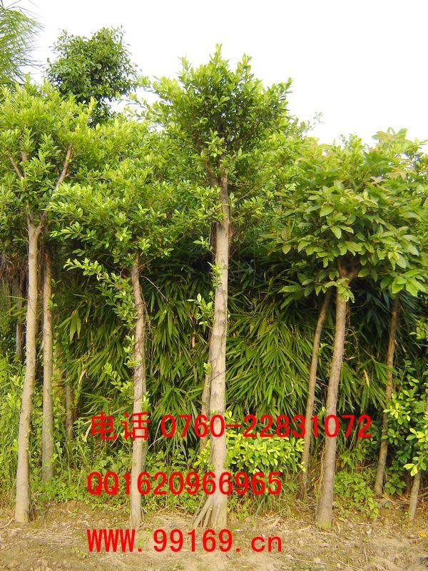 597苗木网 供应信息 绿化苗木