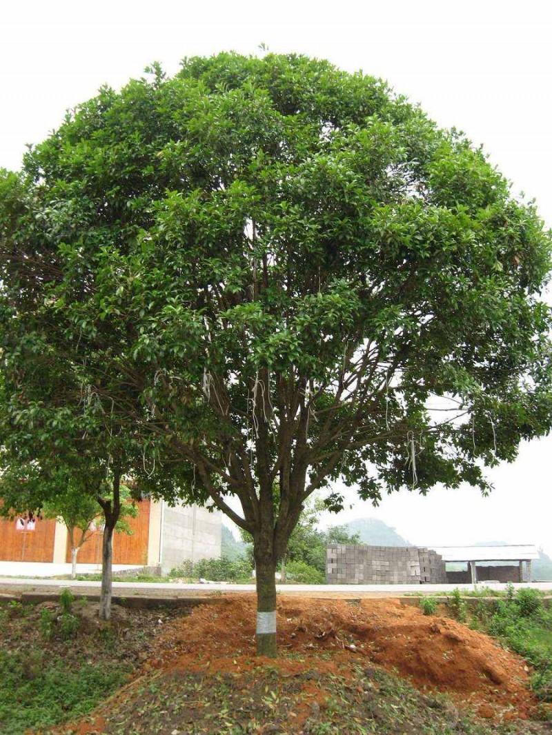 银杏树价格图片|苗木|苗木图库|597苗木网