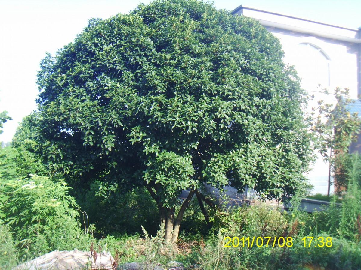 湖北精品八月桂花树