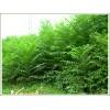 供应香椿树、大棚香椿树、香椿芽/香椿新价格