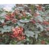 供应花椒树,山东花椒树价格,哪里买到大红袍花椒树