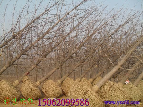 冬季银杏树销售图片