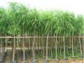 毛白杨、国槐、垂柳