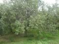 河北八棱海棠树