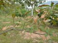 桂花树叶子枯黄怎么办 桂花枯斑病的防治方法