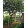 台湾产地直销嘉宝果(树葡萄)头径17cm-20cm