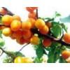 供应山西杏树苗嫁接了的杏树苗嫁接杏树苗价格