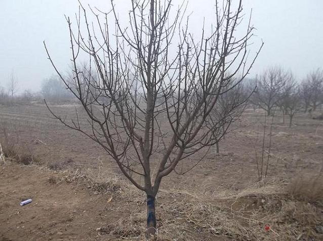 全国首家八棱海棠树苗木供应商 d0.5-60公分八棱海棠树