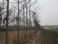 山东泡桐树-烟台泡桐树-莱州泡桐树-招远泡桐树-紫花泡桐