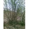八棱海棠树 丛生八棱海棠树