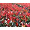 红叶石楠.红瑞木.红王子锦带.大小叶黄杨