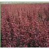 红叶小檗,蜀桧、木槿、红瑞木、桂花