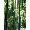 供应斑竹 斑竹苗木 千蜀园林斑竹批发 四川斑竹