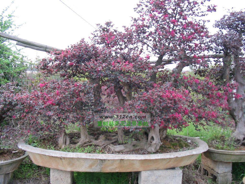 红花继木盆景图片|苗木|苗木图库|597苗木网