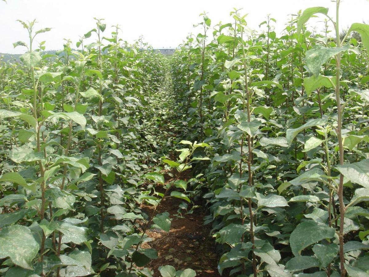 """""""三优""""即优良品种、优良砧木、优良栽培技术,是目前世界上最先进的栽培管理技术之一,具有病虫害轻、果品质量好、果个大、果形端正、果面光洁、着色好、早果丰产性强等特点,产生的经济效益高,栽培优势明显。 其主要特点:"""