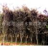 安徽肥西红叶李 乌桕 三角枫 大叶女贞 朴树 黄连木