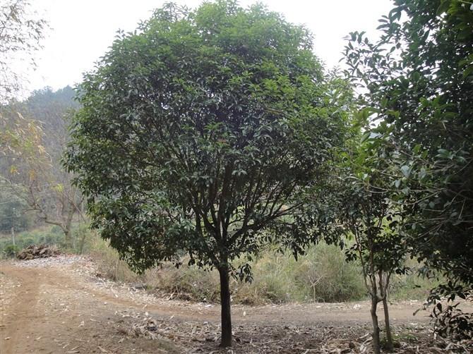 桂花树价格 乔灌木 苗木 苗木报价 597苗木网