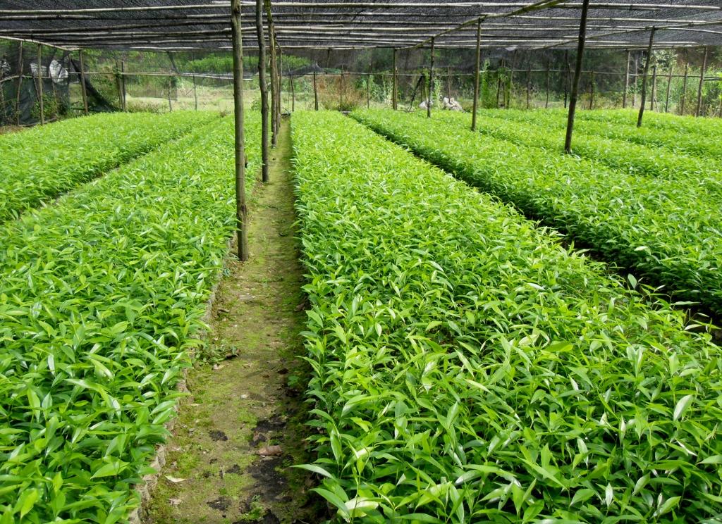 印度小叶紫檀香,优质海南黄花梨(黄檀,降香)苗,柚木苗等各种名贵树苗