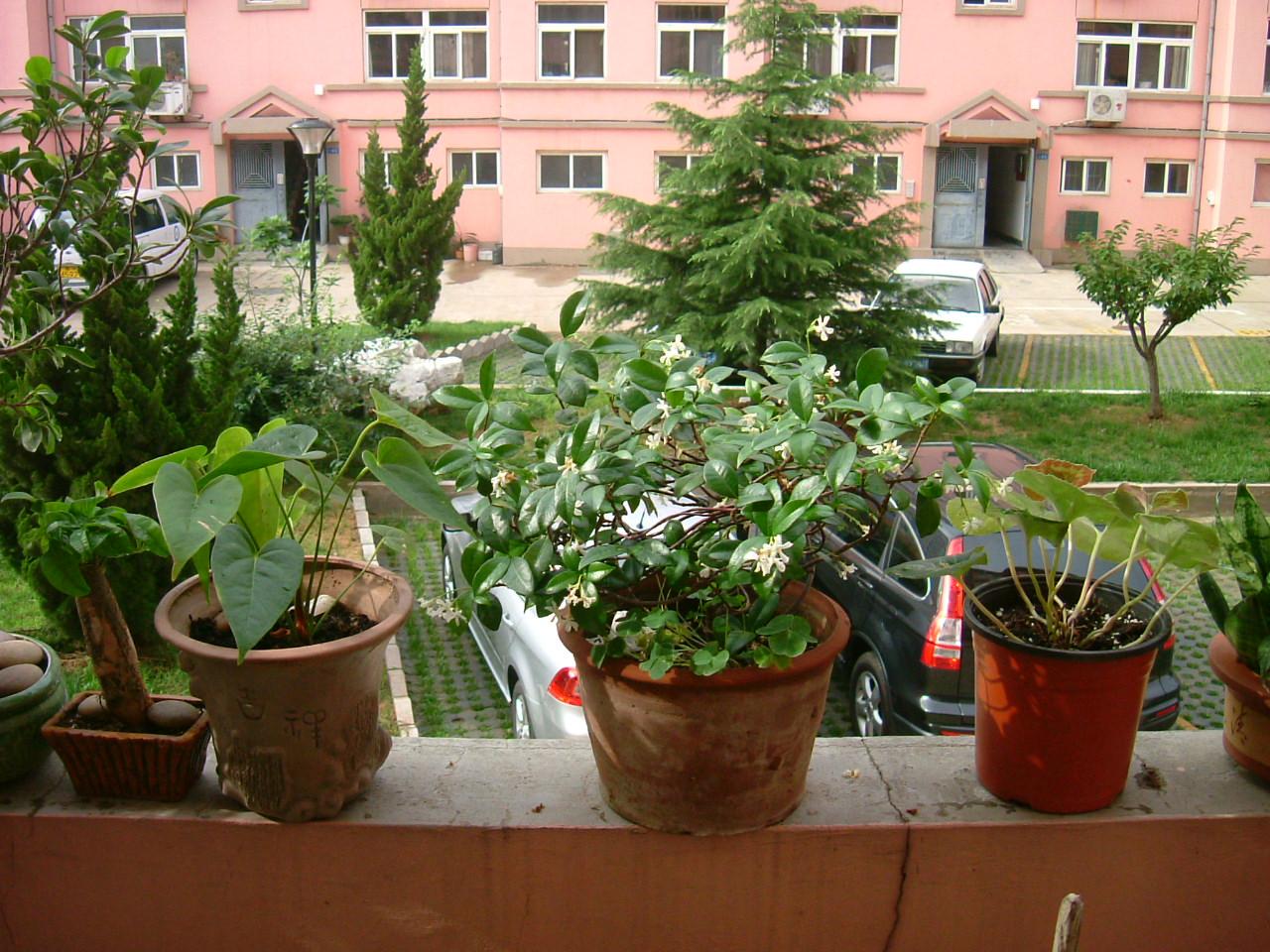 幸福树的养殖方法 幸福树的养护方法介绍|栽培养护