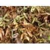 供应青枫种子、青枫种子价格、大量供应青枫种子