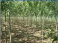 美国竹柳苗