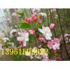 多种花灌木紫薇紫荆海棠海桐火棘剑麻紫藤常年供应