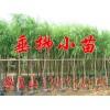 毛白杨树苗-河北秦皇岛昌黎中庄果树绿化苗圃基地海量提供