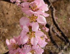点击查看郁金香的养殖方法