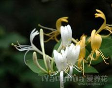 点击查看醉蝶花的养殖方法