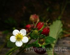 点击查看松叶菊的养殖方法