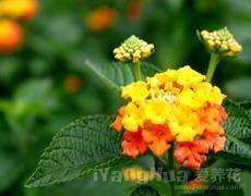 点击查看栀子花的养殖方法