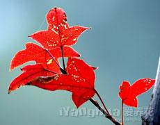 点击查看铁十字秋海棠的养殖方法
