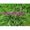 耐寒耐旱耐踐踏的狗牙根百慕達馬尼拉草坪